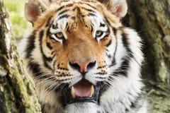 wild tiger Royaltyfri Foto