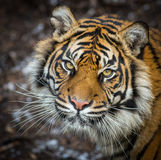 wild tiger Royaltyfri Fotografi