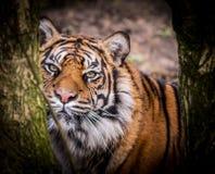 wild tiger Royaltyfria Bilder