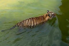 Wild tiger. Animals tajland wildlife stock photography
