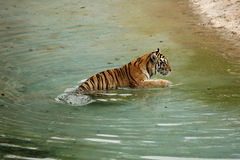 Wild tiger. Animals water wildlife Royalty Free Stock Photography