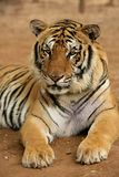 Wild tiger. Animals wildlife nature Royalty Free Stock Image