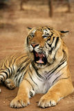 Wild tiger. Asia tajland wildlife royalty free stock image