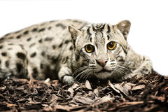 Wild tiger cat Royalty Free Stock Photo