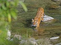 Wild Tiger: Crossing river in the forest of Jim Corbett. The image is of Wild Tiger at Jim Corbett National Park, India showing the beauty of animals in their stock images