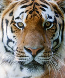 Wild tiger face. Wilt tiger with yellow and black stripes staring with penetrating eyes royalty free stock image