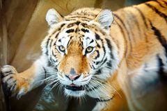 Wild tiger, face and eyes close up. National park. Wild tiger face and eyes close up. National park Stock Image