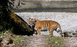 Wild Tiger Royalty Free Stock Photos