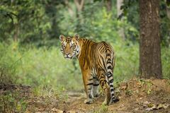 Wild Tiger in India. The largest of the wild big cats, the beautiful orange, black and white striped bengal tiger, pausing by a tree in the woods stock images