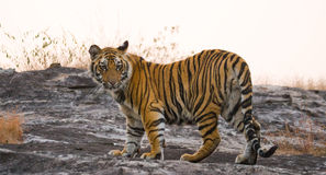 Wild tiger in the jungle. India. Bandhavgarh National Park. Madhya Pradesh. An excellent illustration Stock Images