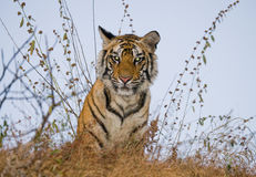 Wild tiger in the jungle. India. Bandhavgarh National Park. Madhya Pradesh. An excellent illustration Royalty Free Stock Photography