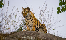 Wild tiger in the jungle. India. Bandhavgarh National Park. Madhya Pradesh. An excellent illustration Royalty Free Stock Photos