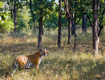 Wild tiger in the jungle. India. Bandhavgarh National Park. Madhya Pradesh. An excellent illustration Royalty Free Stock Image
