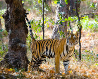 Wild tiger in the jungle. India. Bandhavgarh National Park. Madhya Pradesh. Royalty Free Stock Photos