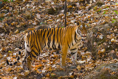 Wild tiger in the jungle. India. Bandhavgarh National Park. Madhya Pradesh. Royalty Free Stock Photography