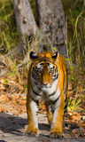 Wild tiger in the jungle. India. Bandhavgarh National Park. Madhya Pradesh. An excellent illustration Royalty Free Stock Images