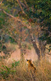 Wild tiger in the jungle. India. Bandhavgarh National Park. Madhya Pradesh. Royalty Free Stock Images