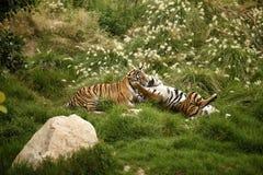 Wild tiger. Wild life animals royalty free stock photo