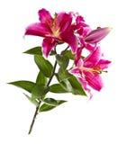 Wild Tiger Lily Stock Photo