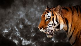 Wild tiger looking, ready to hunt, side view. Panoramic Stock Images