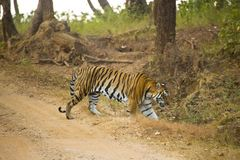 Wild Tiger in Motion. A beautiful orange and black striped male Bengal Tiger in motion as it crosses a road to the jungle in Kanha forest preserve in India royalty free stock images