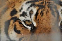 Wild tiger. Predatory cat Stock Photography