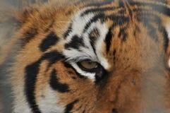 Wild tiger. Predatory cat Royalty Free Stock Photography