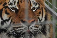 wild tiger Predatory katt Royaltyfri Foto