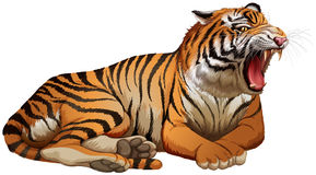 Wild tiger roaring on white background Stock Photos