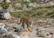 Wild Tiger: Royal walk in the forest of Jim Corbett Royalty Free Stock Photos