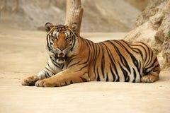 Wild tiger. Tajland cat dander royalty free stock image