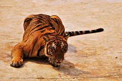 Wild tiger. Tiger is takeing a rest on the stone Royalty Free Stock Photos