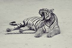 Wild tiger. Tiger is takeing a rest the wildlife Royalty Free Stock Images