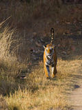 Wild tiger walking along the road in the jungle. India. Bandhavgarh National Park. Madhya Pradesh. An excellent illustration Royalty Free Stock Image