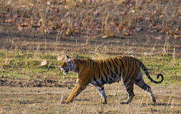 Wild tiger walking along the road in the jungle. India. Bandhavgarh National Park. Madhya Pradesh. An excellent illustration Stock Photography