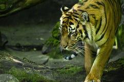 Wild Tiger Walking Around royalty-vrije stock foto's