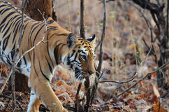 A wild tiger walking. In foliage Stock Photo
