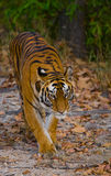 Wild tiger walking on grass in the jungle. India. Bandhavgarh National Park. Madhya Pradesh. Stock Photography