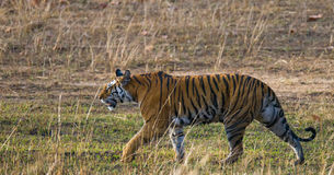 Wild tiger walking on grass in the jungle. India. Bandhavgarh National Park. Madhya Pradesh. An excellent illustration Royalty Free Stock Image