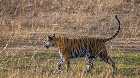 Wild tiger walking on grass in the jungle. India. Bandhavgarh National Park. Madhya Pradesh. An excellent illustration Royalty Free Stock Photos