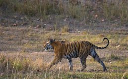 Wild tiger walking on grass in the jungle. India. Bandhavgarh National Park. Madhya Pradesh. Stock Images