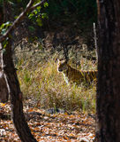 Wild tiger walking on grass in the jungle. India. Bandhavgarh National Park. Madhya Pradesh. Stock Image