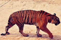 Wild tiger. Tiger is walking in the wildlife Royalty Free Stock Photography