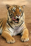 Wild tiger Stock Images