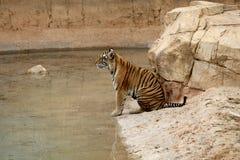 Wild tiger. Wildlife water asia tajland royalty free stock image