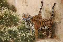 Wild tigers Royalty Free Stock Image