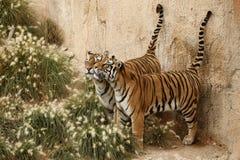 Wild tigers. Animals wildlife asia tajland royalty free stock image