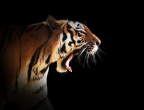 Wild tijger gebrul Zwarte achtergrond Stock Foto