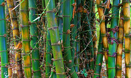 Wild timber bamboo stems background Stock Images