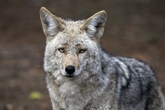 Wild Timber wolf Royalty Free Stock Photos